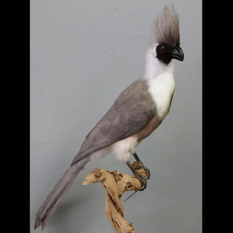 Bare-Faced Go-Away-Bird Taxidermy
