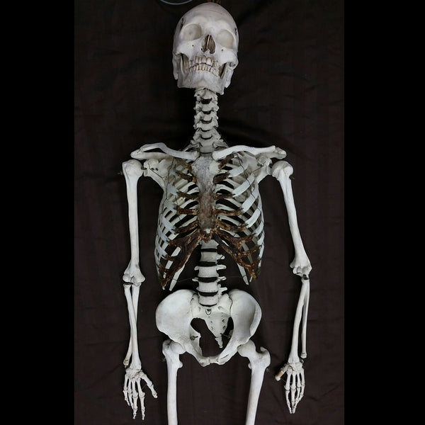 Articulated Human Skeleton, Antique Male