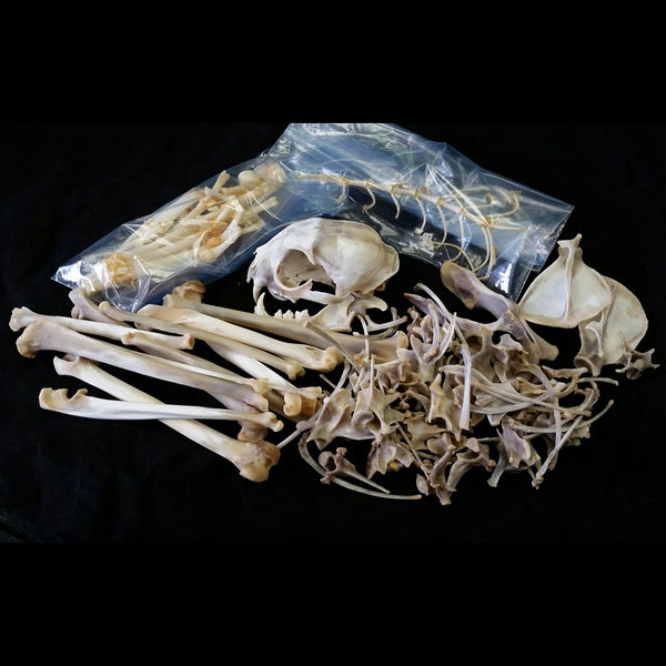 Lynx Skeleton, Disarticulated A