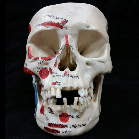 Human Skull, Anatomical Labels