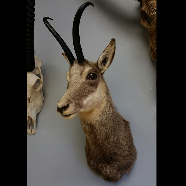 Chamois Taxidermy Shouldermount