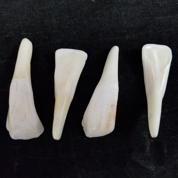 Bison Teeth, Drilled Sets of 4