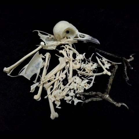Eurasian Magpie Skeleton, Disarticulated