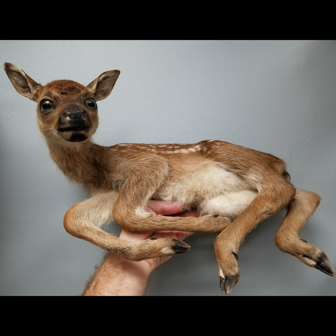 Red Deer, Stillborn Taxidermy
