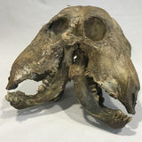 Two Faced Cow Skull