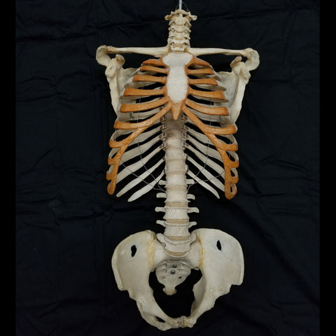 Articulated Human Torso