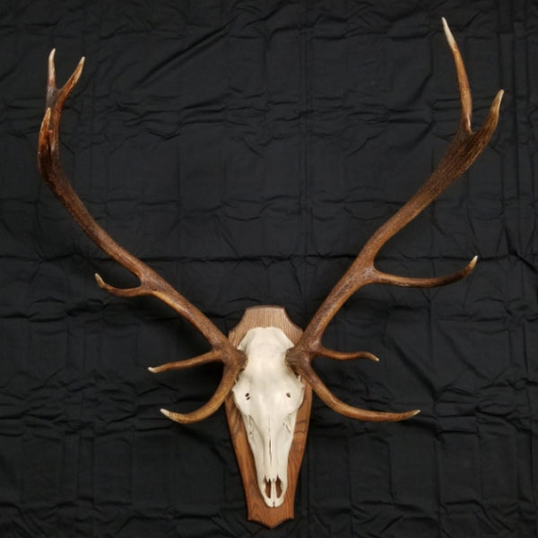 Red Stag Skull Wallmount, XL