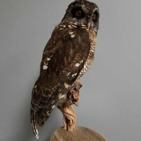 African Wood Owl Taxidermy
