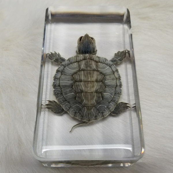 Red Eared Slider Turtle In Resin