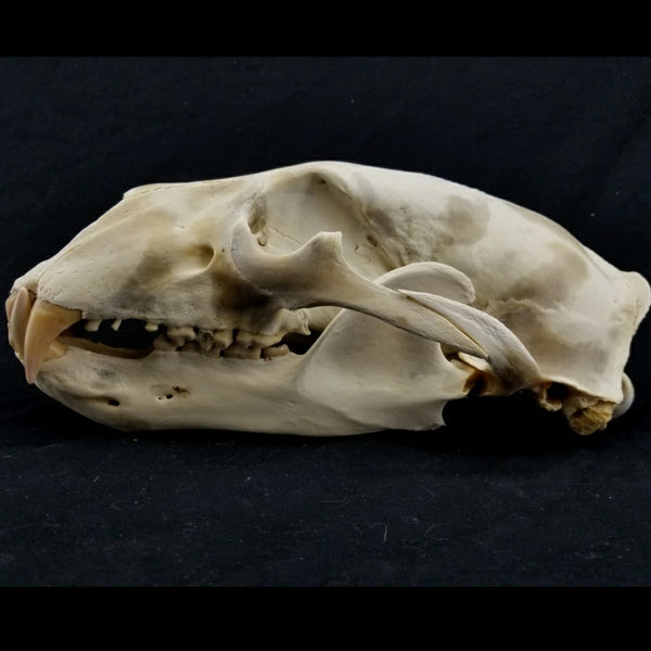 "Polar Bear Skull, B 14"" (Non-Exportable)"