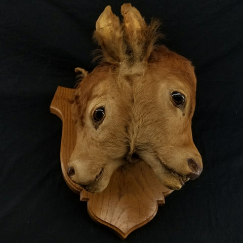Two Faced Cow Taxidermy
