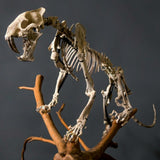 Sabertooth Tiger Fossil Skeleton