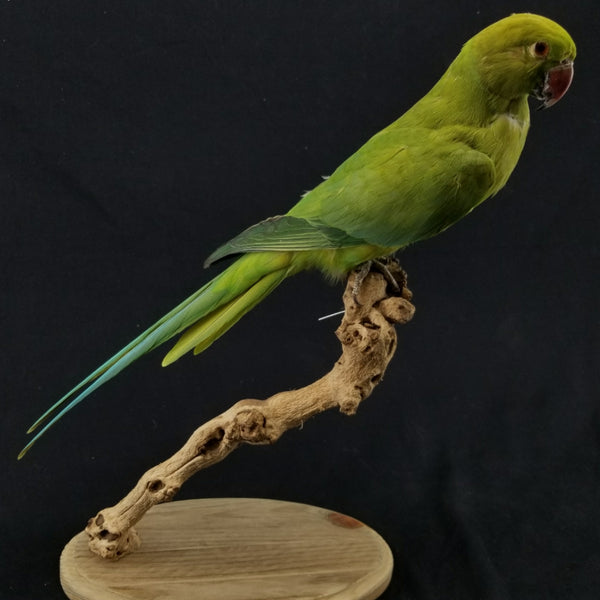 Ring-Necked Parakeet Taxidermy