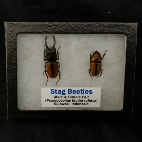 Stag Beetles (M&F Pair)
