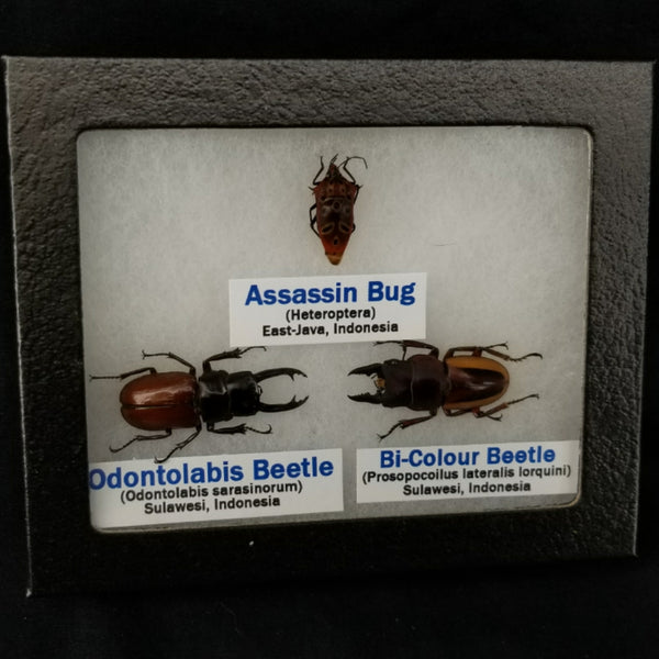 Assassin Bug & Beetle Set