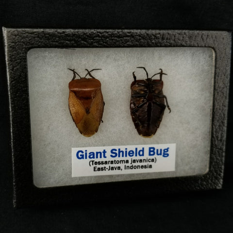 Giant Shield Bugs