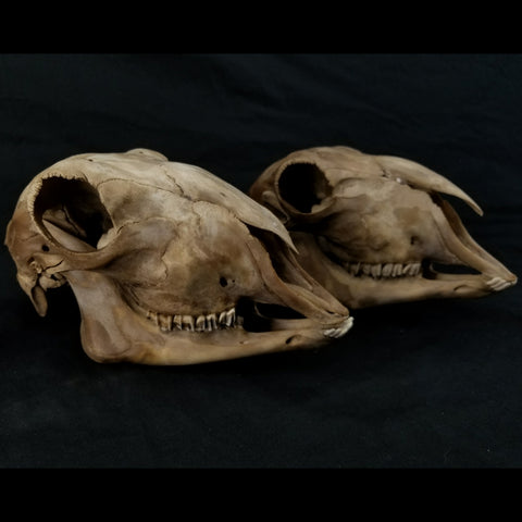 Lamb Skulls, Nature Brown (SALE)