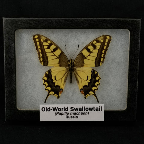 Old-World Swallowtail Butterfly