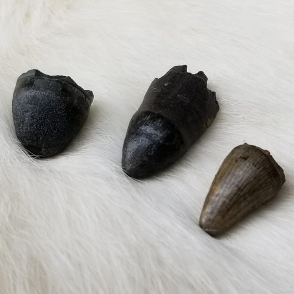 Alligator Teeth, Fossils