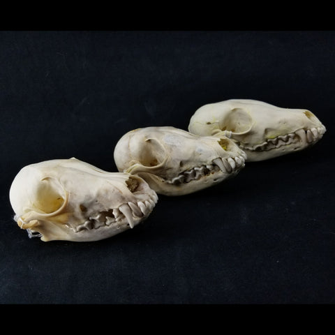 Arctic Fox Skulls (Set of 3)