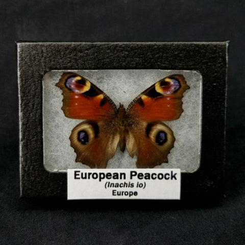 European Peacock Moth