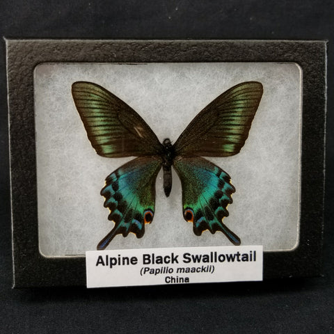 Alpine Black Swallowtail Butterflies