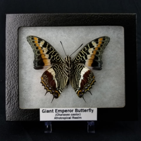 Giant Emperor Butterfly