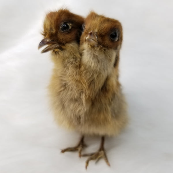 Two-Headed Quail Taxidermy Mounts