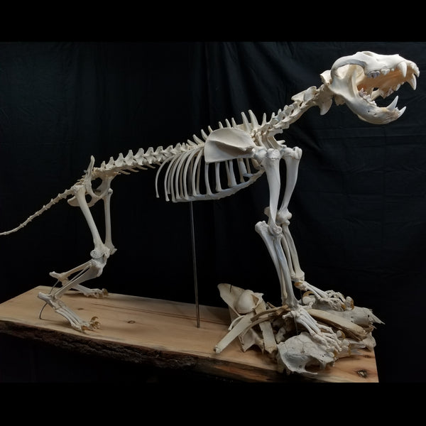 White Lion Skeleton, Adult Male