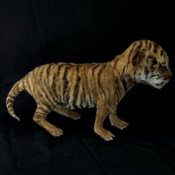 Stillborn Tiger Cub Taxidermy