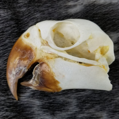 Blue and Gold Macaw Skull