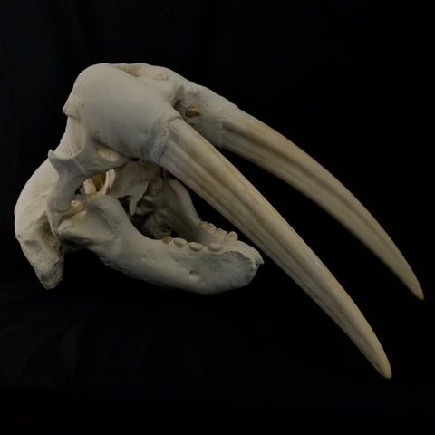"Walrus Skull, 13"" Exposed Tusks (SALE)"