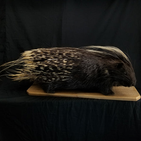 African Cape Porcupine Taxidermy Mount