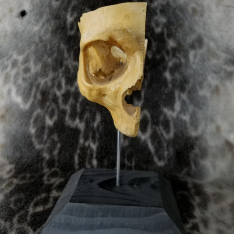 Quartered Human Skull, On Stand