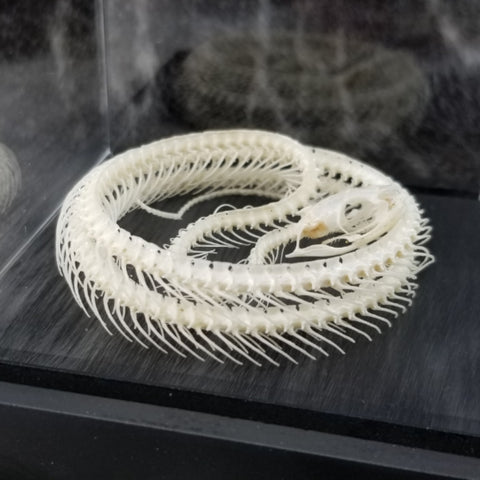 Chinese Ratsnake Skeleton