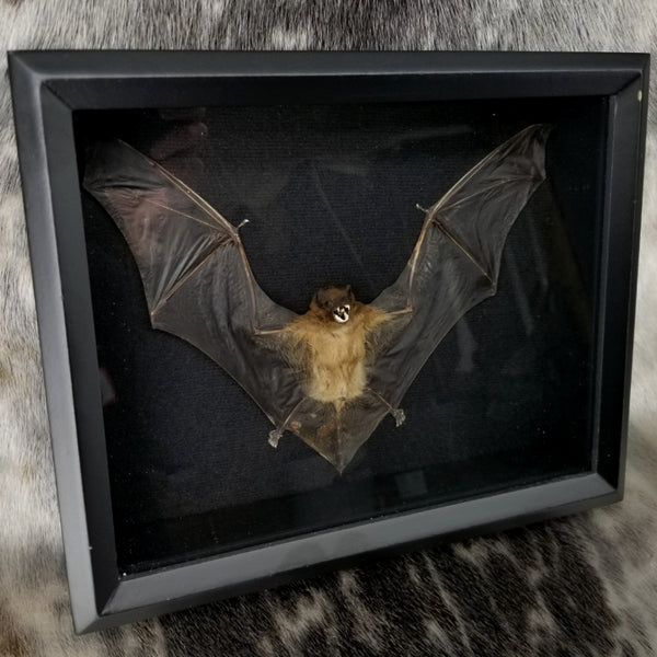 Lesser Asiatic Yellow Bat Taxidermy Mounts (SALE)