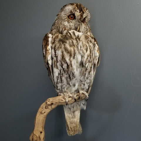 African Wood Owl Taxidermy Mount