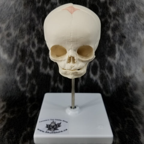 Human Fetal Skull, With Stand (CAST)