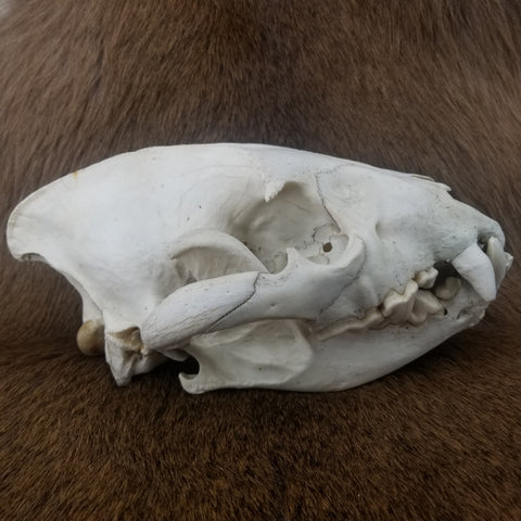 Spotted Hyena Skull B (CLEARANCE)