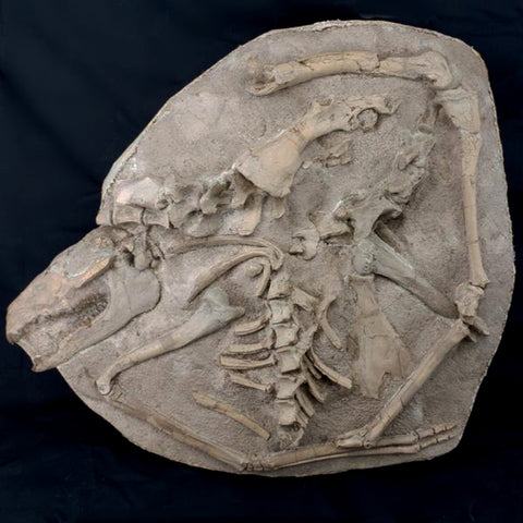 Fossil Camel Skeleton in Matrix