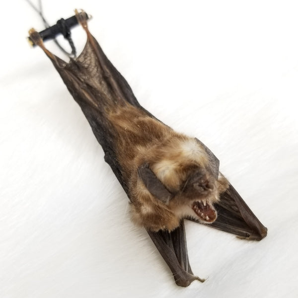 Blyth's Horseshoe Bat Taxidermy, Hanging