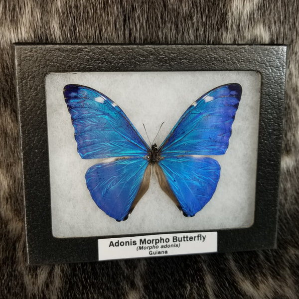 Adonis Morpho Butterfly