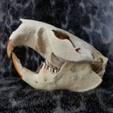 North American Beaver Skulls (CLEARANCE SALE)
