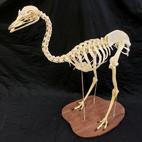 Emu Skeleton (SALE)