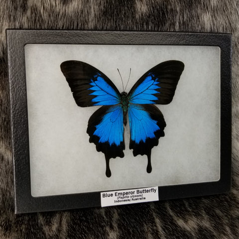 Blue Emperor Butterfly (SALE)