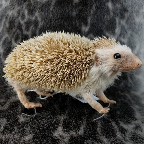 African Pygmy Hedgehog Taxidermy (SALE)