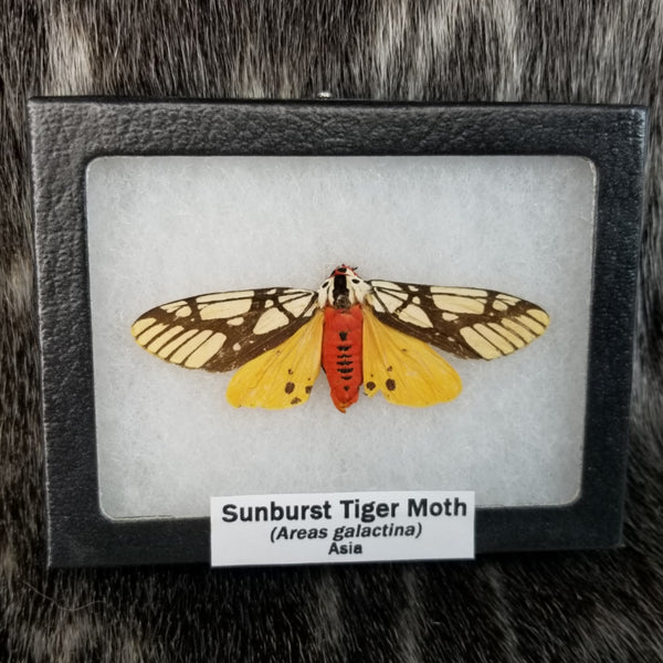 Sunburst Tiger Moth