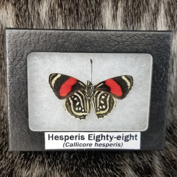Hesperis Eighty-Eight Butterflies