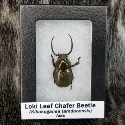 Loki Leaf Chafer Beetle