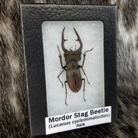 Mordor Stag Beetle